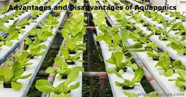 Advantages and Disadvantages of Aquaponics