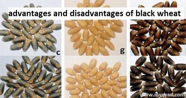Advantages and Disadvantages of Black Wheat - Pros and Cons