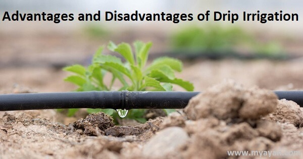 Advantages and Disadvantages of Drip Irrigation System