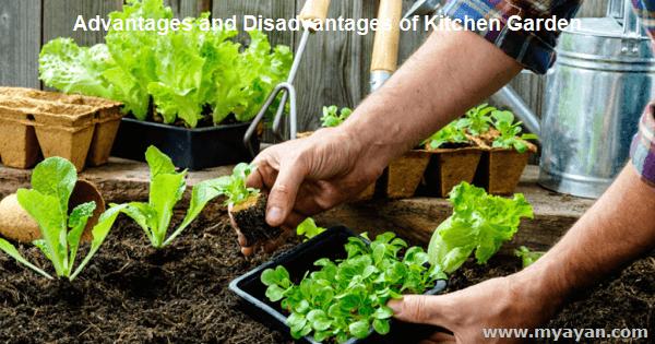 Advantages and Disadvantages of Kitchen Garden