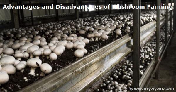 Advantages and Disadvantages of Mushroom Farming