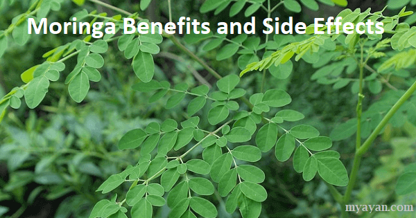 Health Benefits of Moringa - Moringa Plant Side Effects